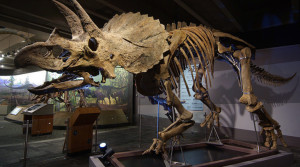 exhibits_triceratops-cliff_triceratops-solo